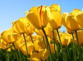 Tulips-alttag
